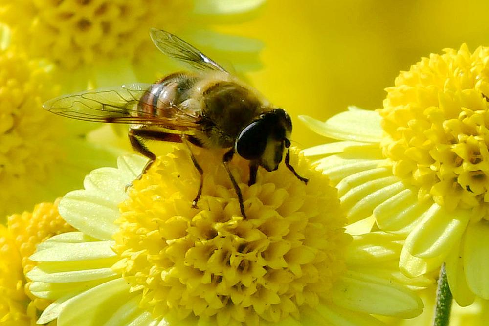 菊花与蜜蜂