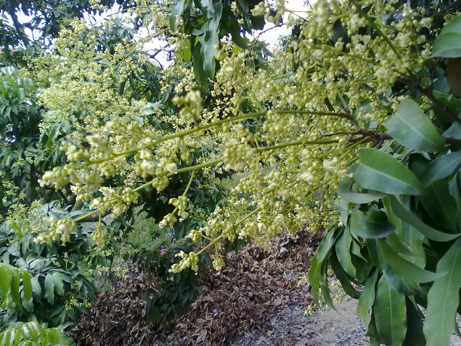 荔枝花上的荔枝蜜